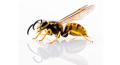 Plaga de Avispas - Irabia Control de Plagas