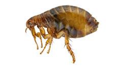 Plaga de Pulgas - Irabia Control de Plagas