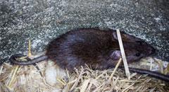 Plaga de Ratas -Irabia Control de Plagas