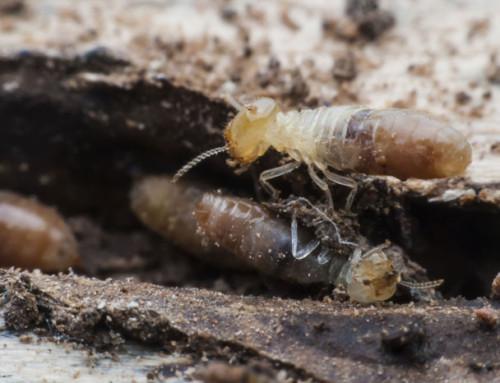 Diferencias entre termitas y carcoma