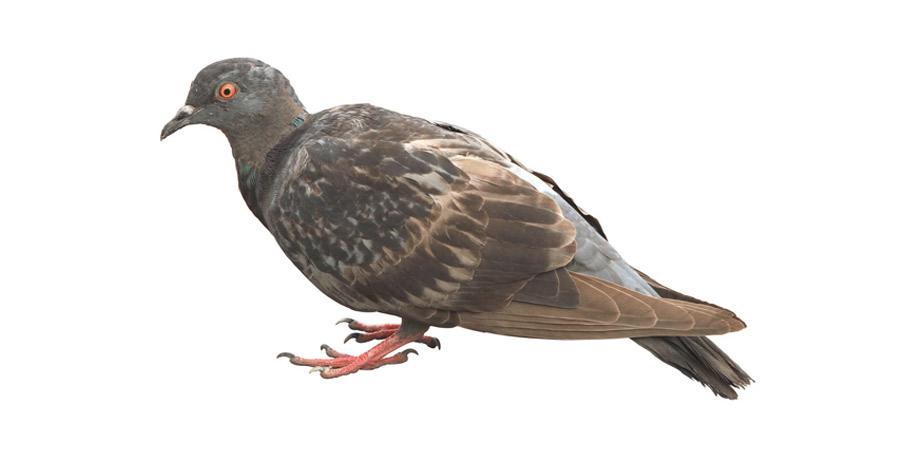 Plaga de Aves - Irabia Control de Plagas
