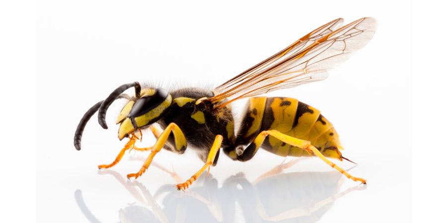 Avispa - Irabia Control de Plagas