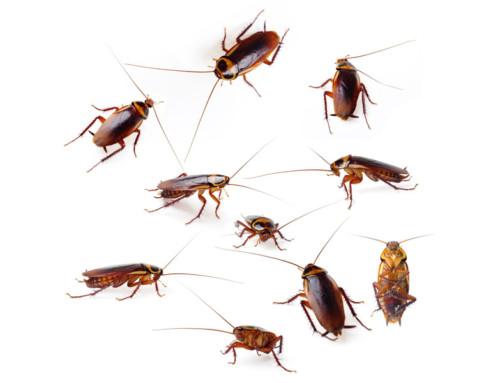 Control de plaga de cucarachas en su empresa
