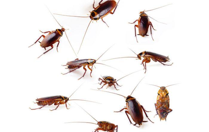 Cucarachas Americana
