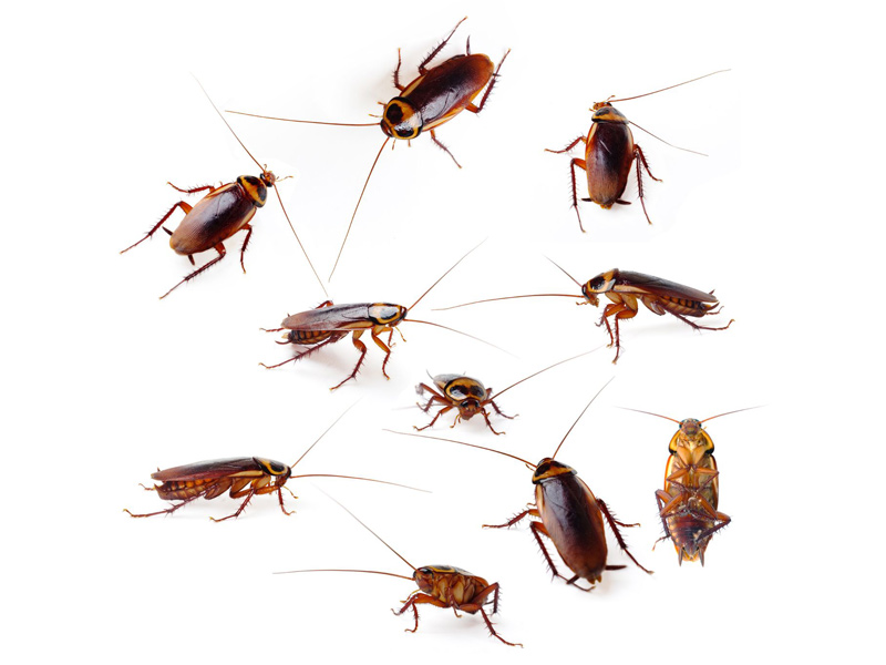 Tipos De Cucarachas