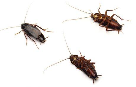 Plaga de Cucaracha Oriental