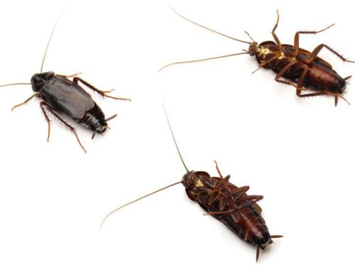 Las cucarachas son portadoras de bacterias que contagian enfermedades
