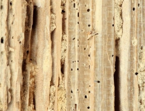 Cómo identificar una plaga de termitas