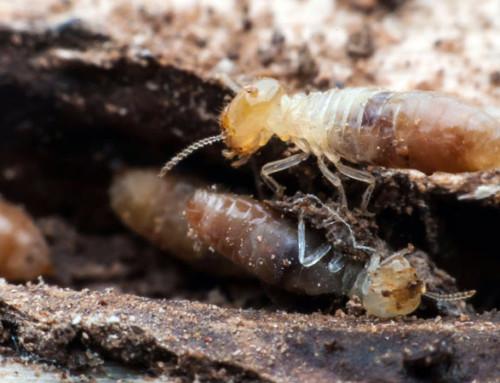Termitas: devoradoras de madera