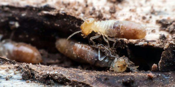 Plaga de termitas