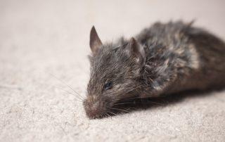 Plaga de Ratones - Irabia Control de Plagas