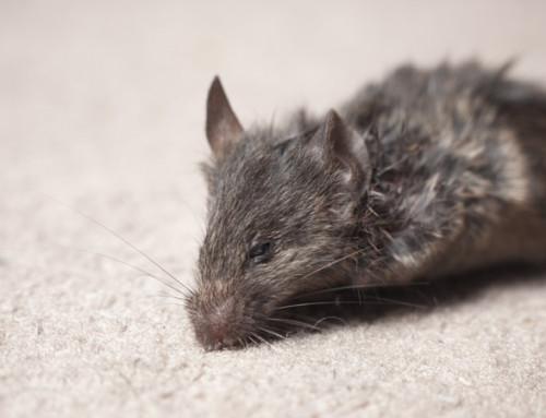 Tratamientos para eliminar una plaga de ratones en casa