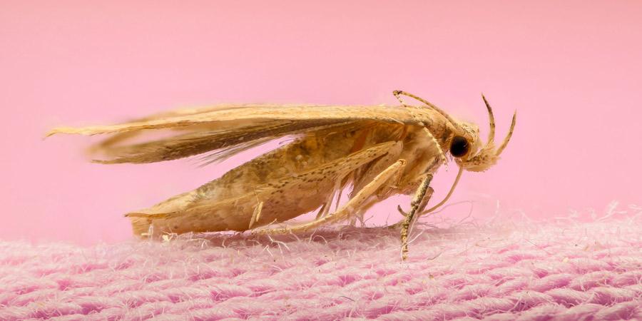 Insectos textiles - Irabia Control Plagas