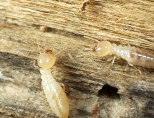Evitar las termitas aladas en casa