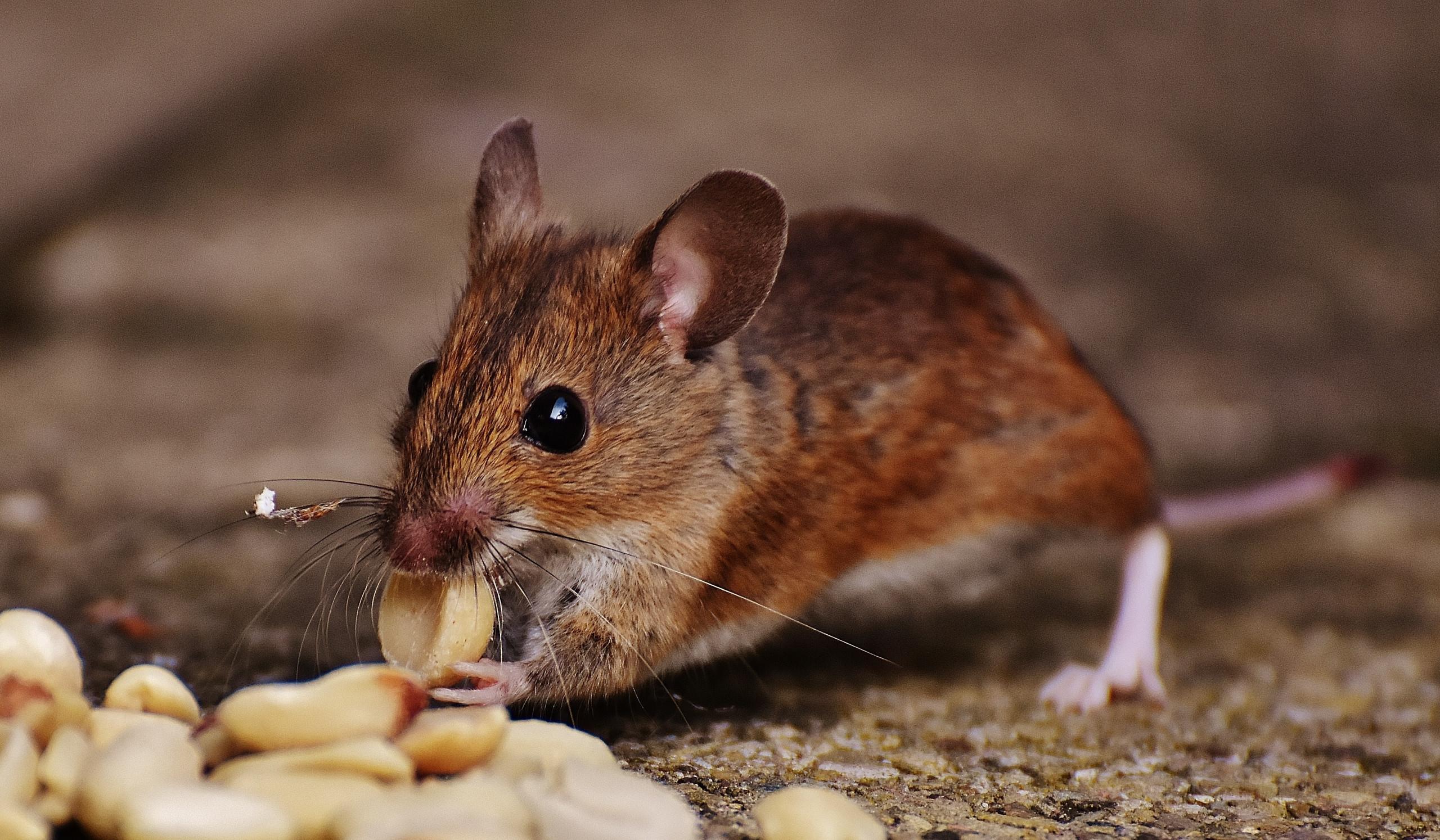 Plagas en casa: roedores